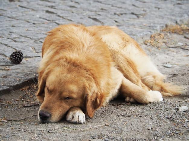 Aanbiddelijke golden retriever-hondslaap op de grond.