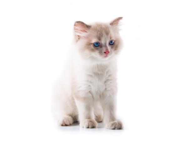 Aanbiddelijke kat op geïsoleerde witte achtergrond