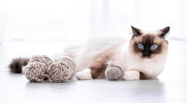 Aanbiddelijke ragdollkat met mooie blauwe ogen die op de vloer met garenballen liggen. portret van ras katachtig huisdier met draad. mooi rasecht huisdier binnenshuis