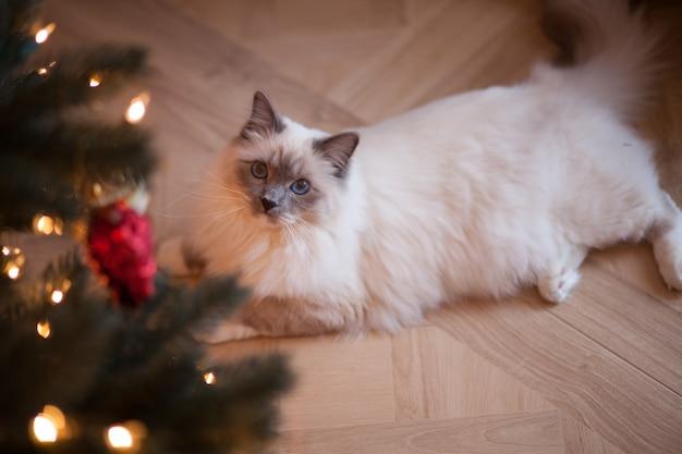 Aanbiddelijke siberische pluizige kat met blauwe ogen binnen met kerstboom