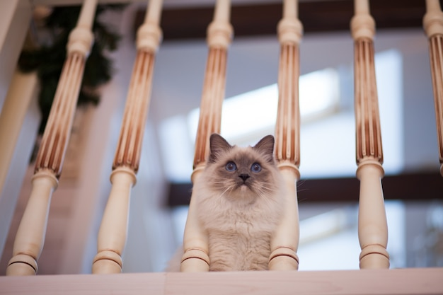 Aanbiddelijke siberische pluizige kat met blauwe ogen binnen