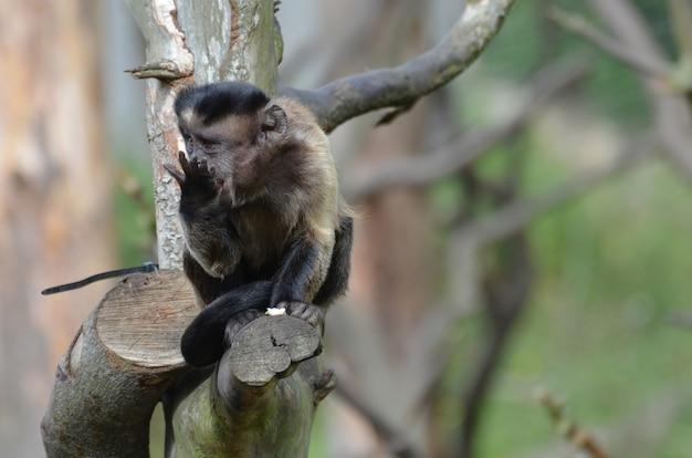Aanbiddelijke snacking getufte kapucijnaap die in een boom snackt.