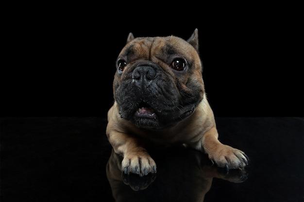 Aandacht. jonge franse bulldog poseert geïsoleerd op zwarte muur.