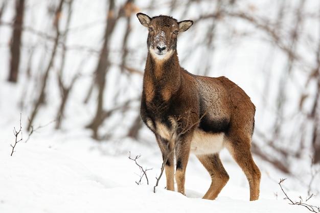 Aandachtige wilde vrouwelijke moeflonschapen die zich in sneeuw in de winterbos bevinden.