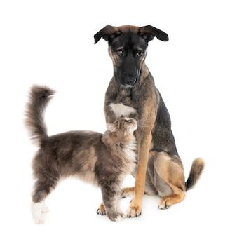 Aanhankelijk kat kijken op zittende griekse puppy hondje.
