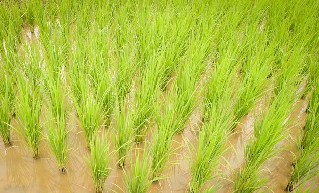 Aanplant van rijst op regenseizoen landbouw boer aanplant op de organische padie landbouwgrond
