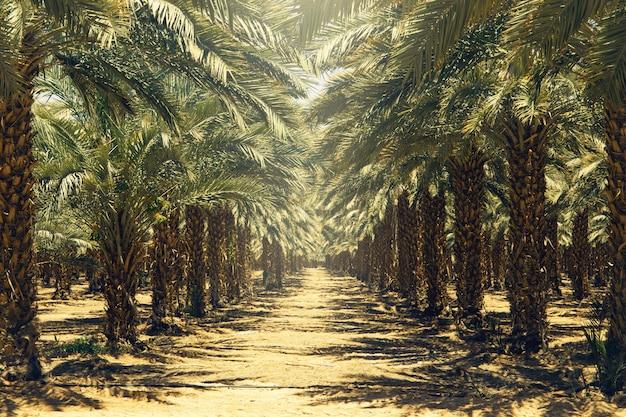 Aanplanting van dadelpalmen in israël. prachtige natuur