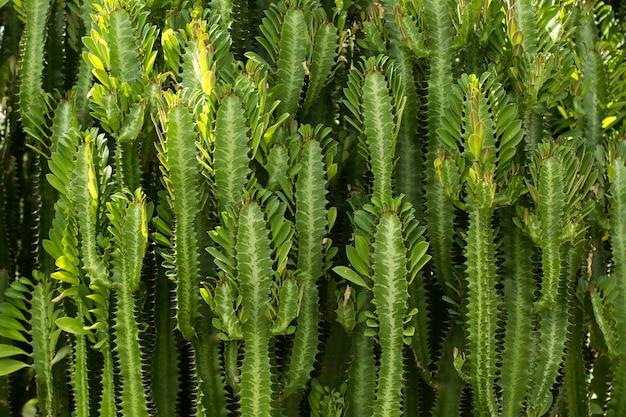 Aanplanting van groene cactus.