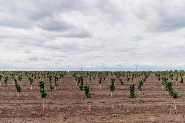 Aanplanting van kersenbomen met sky