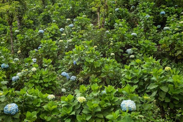 Aanplanting van prachtige hortensiabloemen