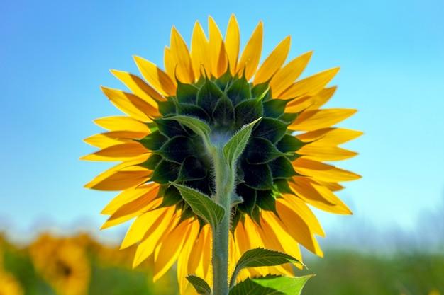 Aanplanting van zonnebloemen met een blauwe hemeldag