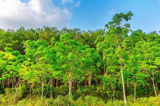 Aanplantingslatrx rubber of paragraaf rubberboom in zuidelijk thailand