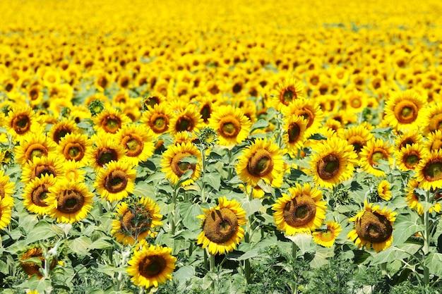 Aantal zonnebloemen