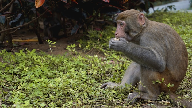 Aap. aap makaak in het regenwoud. apen in de natuurlijke omgeving. china, hainan