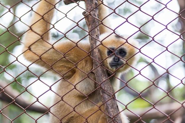 Aap, bruine gibbon of lar gibbon in dusit zoo, thailand.