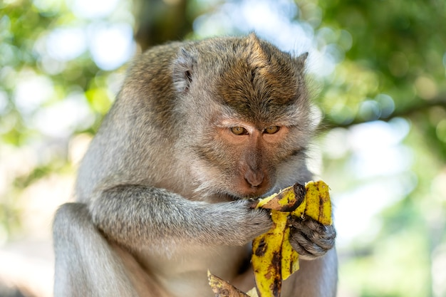 Aap die banaan eet. aapfamilie bij heilig apenbos in ubud, eiland bali, indonesië. detailopname