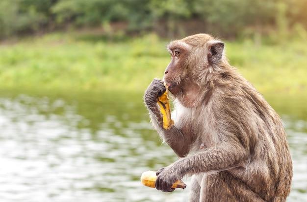 Aap die en een banaan met de achtergrond van de meeraard zitten eten.