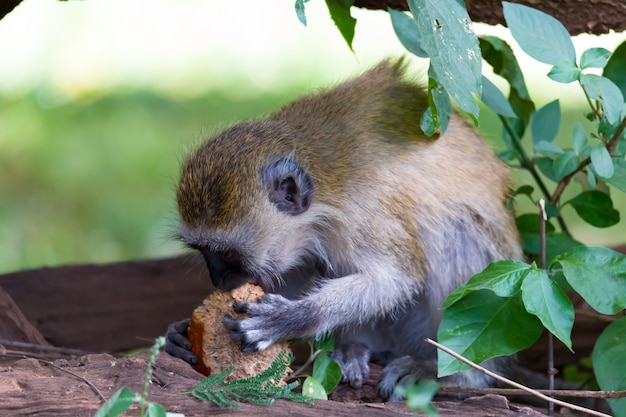 Aap doet een fruitmaaltijd in het gras