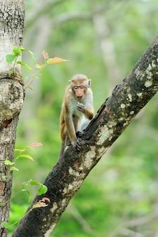 Aap in de levende natuur. land van sri lanka