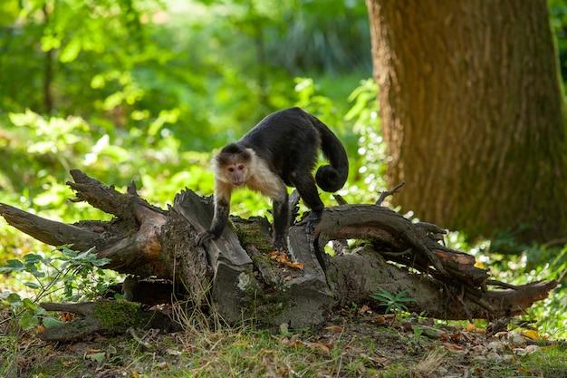 Aap in het park volgt de vegetatie. panamese kapucijn met witte gezichten.