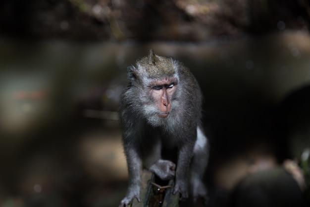 Aap met lange staart zit op betonnen muur in het sacred monkey forest in bali, ubud