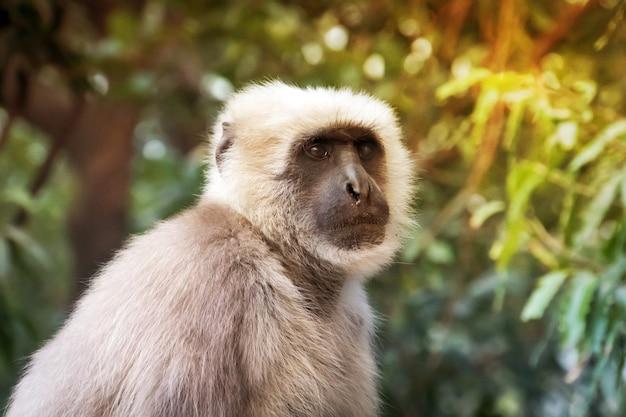 Aap met witte vacht op de achtergrond van groene bomen. aap in een natuurlijke habitat in de jungle.