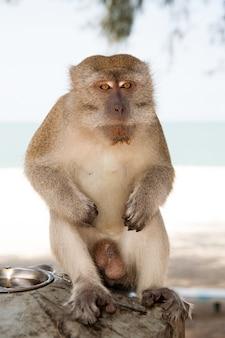 Aap op kuantan-zandstrandachtergrond. aap schattig en pluizig zitten in de schaduw. apen vallen inwoners van kuantan lastig. primaten die door voedsel worden aangetrokken, kunnen proberen om lekkernijen te stelen. tips om primaten op afstand te houden.