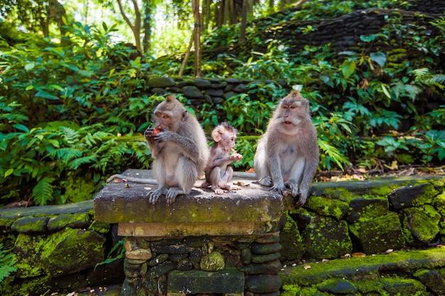 Aap. tropische dieren. exotisch reistoerisme. de rest van de evenaar. bali, indonesië