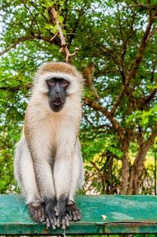 Aap zittend op het metalen hek in tanzania
