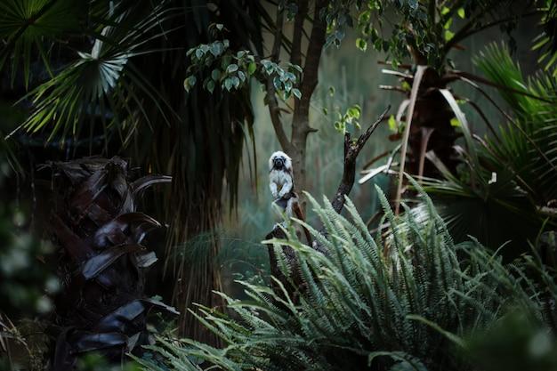 Aapje van katoenen tamarin, kleine aap uit de nieuwe wereld
