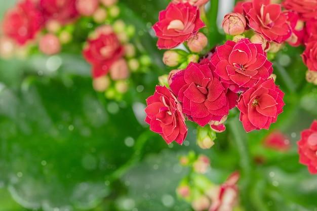 Aardachtergrond van rode frowers van kalanchoë met groene bladeren