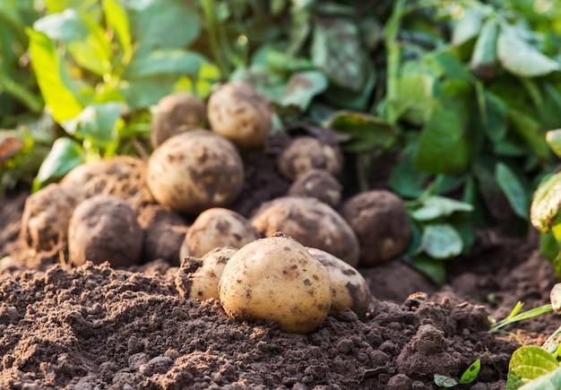 Aardappelen in de grond