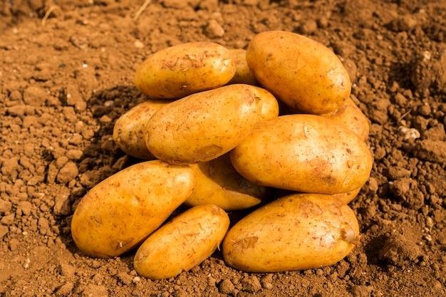 Aardappelen op het land veld