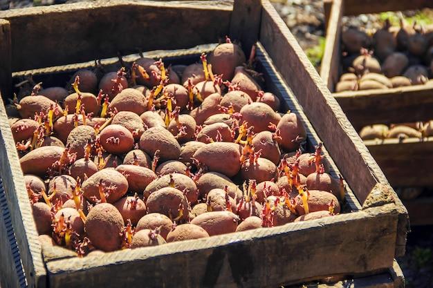 Aardappelen planten. tuin. selectieve aandacht. biologisch voedsel.