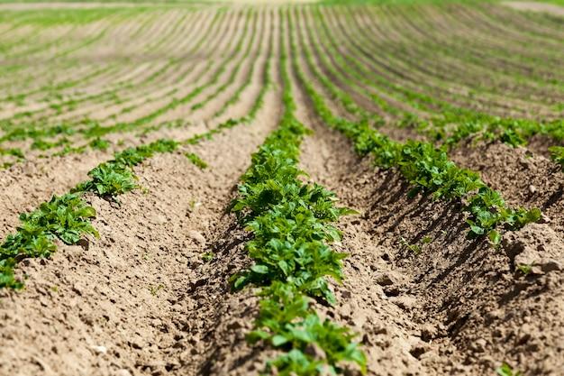 Aardappelen veld