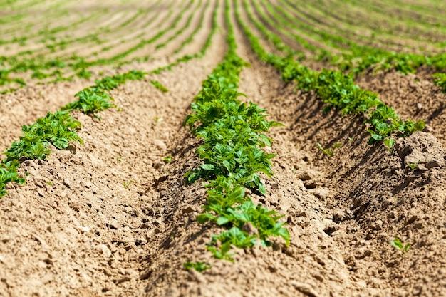 Aardappelen worden gekweekt op een landbouwgrond, landbouw als een soort activiteit en bedrijf, hoogwaardige selectie van aardappelrassen om de grootst mogelijke opbrengst aan voedsel te verkrijgen, close-up