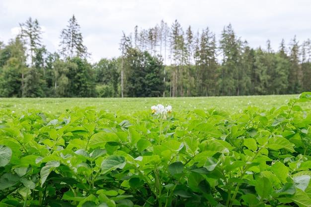 Aardappelen worden in rijen op het veld geplant. groen gebladerte van aardappelen. aardappelen telen in een groot veld. bloeiende aardappelplanten. landbouwgrond.