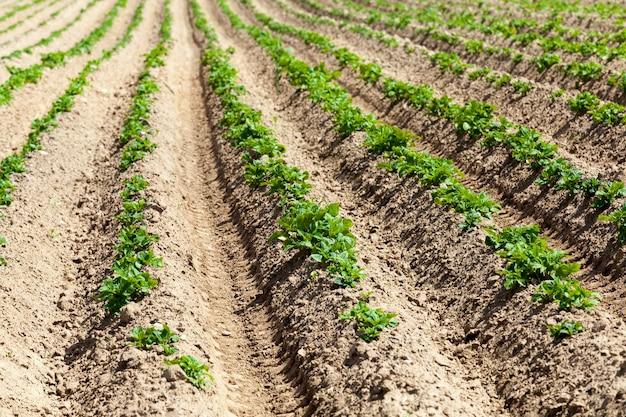 Aardappelen worden verbouwd op een landbouwgrond