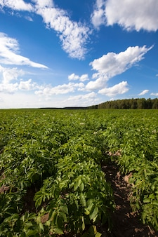 Aardappelveld - een landbouwveld waarop aardappelen groeien. zomertijd van het jaar