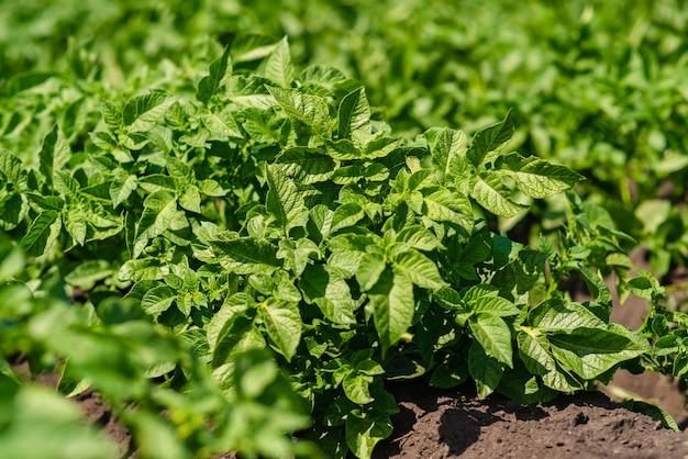 Aardappelveld rijen met groene struiken close-up