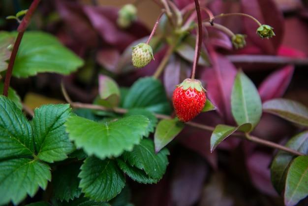 Aardbei. bessenaardbeien op een tak. aardbeien groeien in een pot.