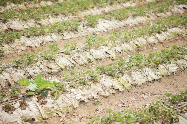 Aardbei fruitplant groeit in veld boerderij. aardbeien plantage