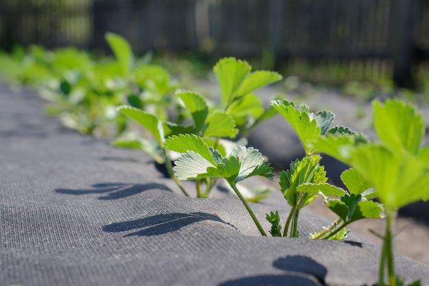 Aardbei kweken met behulp van moderne technologie. grond is bedekt met speciale syntactische vezel om bessen te beschermen tegen vocht en vuil.