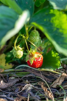 Aardbei plant. wilde aardbeienstruiken. aardbeien in groei bij tuin. rijpe bessen en bladaardbei