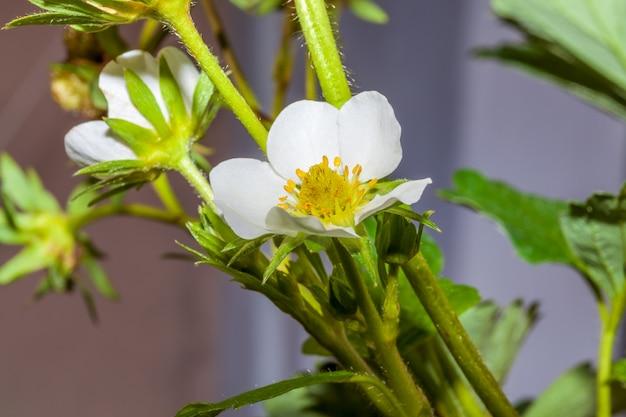 Aardbei planten in bloei op een zonnige lentedag