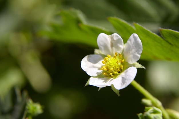 Aardbei witte bloem, struik bloeiende bes in de tuin