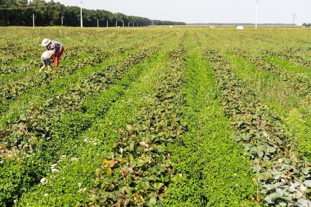 Aardbeien in rijen in het veld