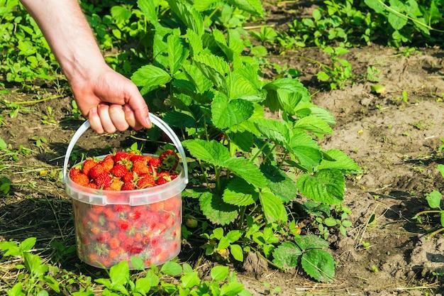 Aardbeien oogsten in de zomer of herfst op de plantage