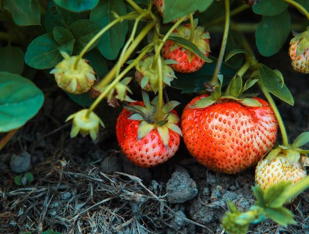 Aardbeien op een tak close-up op een boerderij plantage