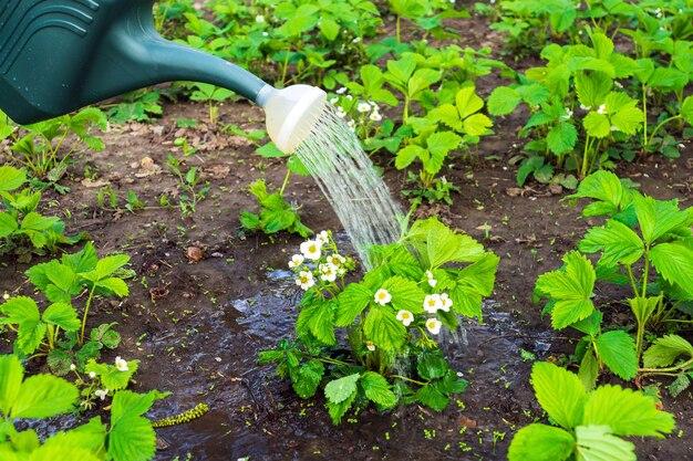 Aardbeien 's avonds op plantage water geven voor een goede oogst